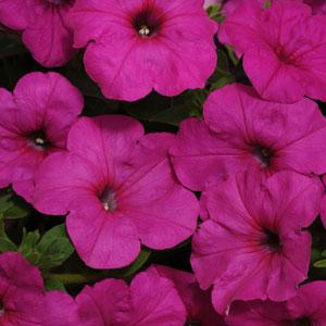Neon Rose Wave  Petunia Jumbo 6 Pack 19.99
